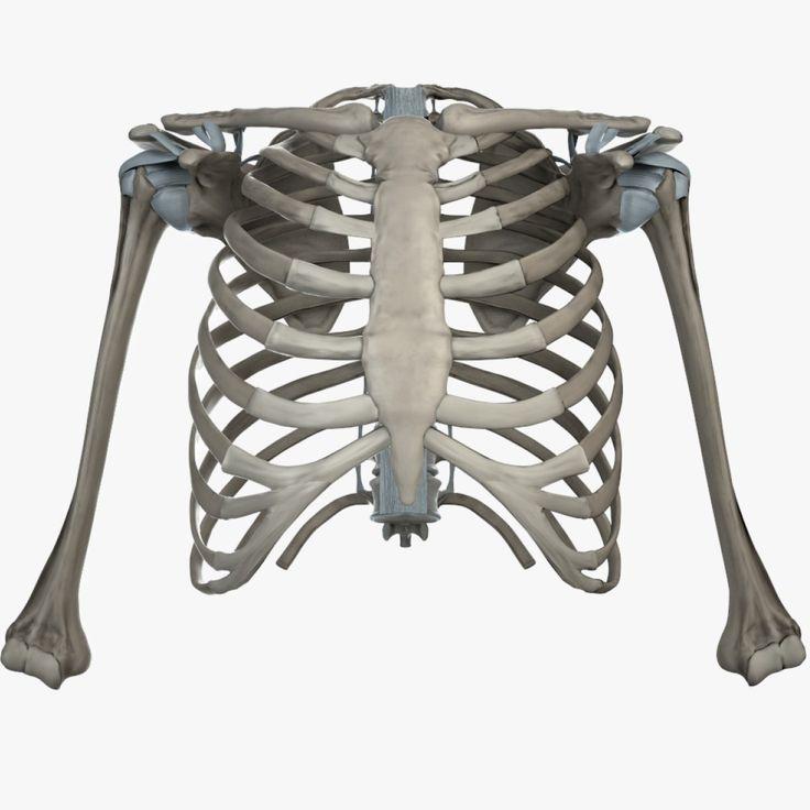 Best 25 Shoulder Bones Ideas On Pinterest Bones Of The