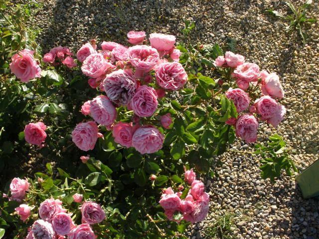 más de 25 ideas increíbles sobre rosal en pinterest | enraizar