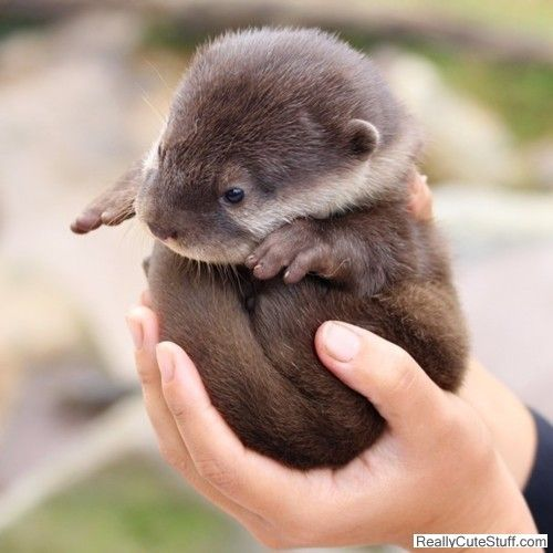 Baby otter! (look at his little hands!): Cute Baby, Baby Otters, Hands, So Cute, Pet, Baby Animal, Otters Ball, Cutest Things Ever, Socute