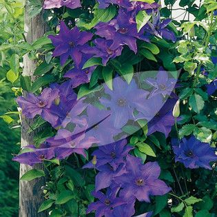 Clematis 'The President' Clematis - 2.5 litres