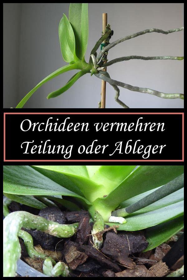 Orchideen vermehren durch Teilung/Ableger