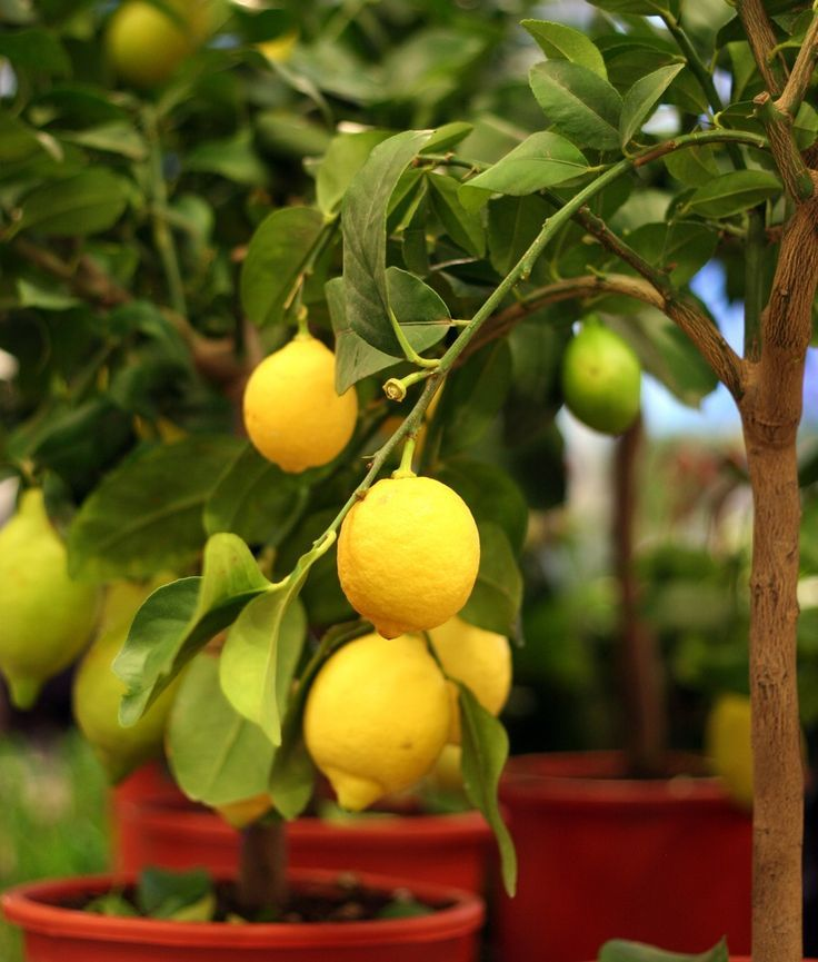 If you want to be able to take your fruit trees with you when you move, or if you want to grow fruit trees without needing to climb a ladder, consider growing dwarf fruit trees.