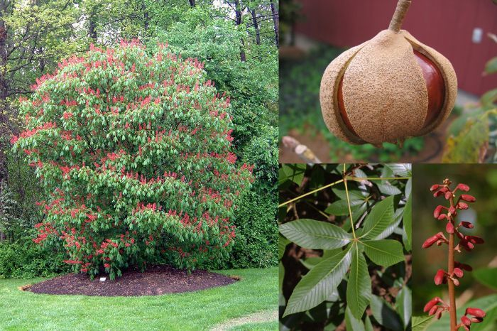 Ornamental Trees Red Buckeye Aesculus Pavia Is A Small
