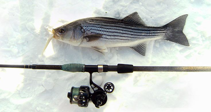 Holdovers residents whatever you call them there are for Striped bass fishing tips