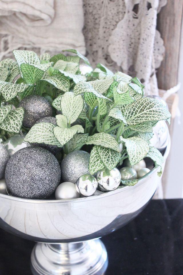 Kukkala: #fittonia #pitsilehti Maailman helpoin viherkasviasetelma
