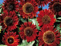 Sunflower 'Earthwalker' features solid and bicolor blooms of rusty earth tones, including orange, mahogany, brown and gold. Multiple side branches on 6 to 9-foot plants guarantee a magnificent display.