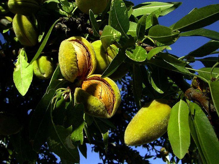La coltivazione del mandorlo nel nostro Paese ha un'antica tradizione. Vediamo come metterla in pratica con tecniche biologiche.