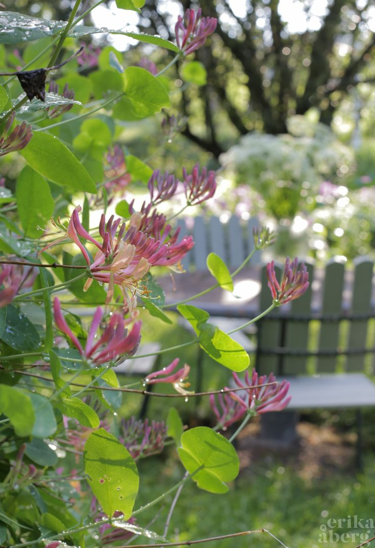 Kaprifol vid sittplats i trädgården. Foto: Erika Åberg