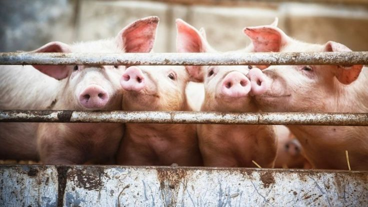 11 pigs test positive for swine flu at second Maryland fair | http://sibeda.com/11-pigs-test-positive-for-swine-flu-at-second-maryland-fair/
