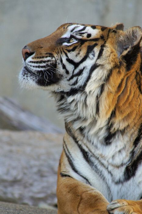 Project: Tiger Painting   |   Caption: Bengal tiger