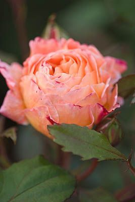 Lady Emma Hamilton, David Austin rose I have 5 of these in my back garden so far. Stunningly beautiful and a heavenly smell!!