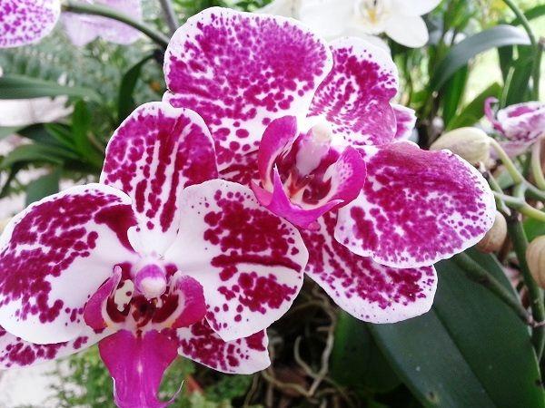 Phalaenopsis Orchids Phalaenopsis Orchid Orchids Amazing Flowers