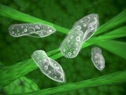 Os protozoários são microrganismos unicelulares (compostos por apenas uma célula) e eucariontes (com núcleo celular organizado). Integrantes do Reino Protista, estes seres se movimentam através de flagelos, pseudópodes (pés falsos) ou cílios. Muitas espécies de protozoários são microscópicas.   Os protozoários são heterótrofos, ou seja, não possuem a capacidade de fabricar seu próprio alimento, tendo que se alimentarem (através da ingestão ou absorção) de outros seres.