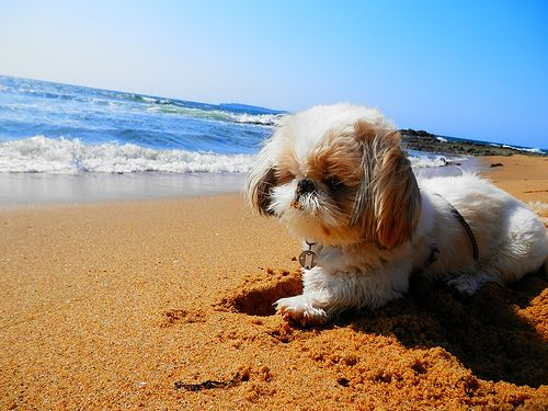 Taro shih tzu | by the sea. I want to get a picture of Simon like this.