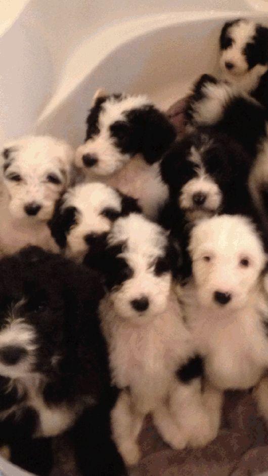 Sheepadoodle Dog Puppies For Sale Ontario Canada