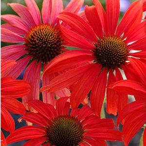 Erhalten Sie Sommerfarben ohne Unterbrechung (Zone 4 - 7) unterbrechung sommerfarben erhalten