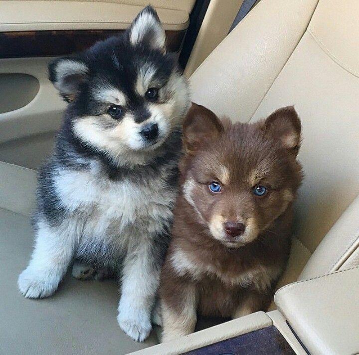 Pomsky Puppies For Sale Kakamega Kenya