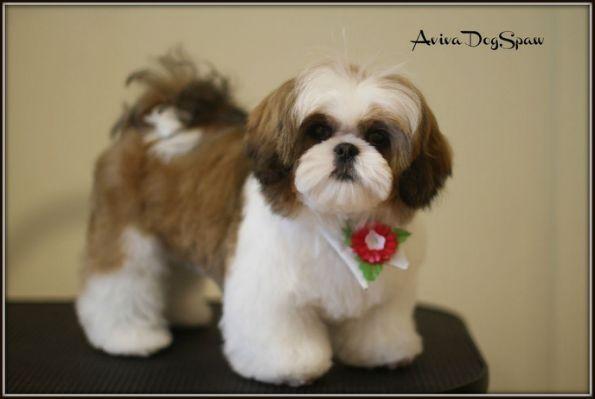 Shih Tzu Puppy After Grooming Shihtzu Shih Tzu Puppy Shih Tzu Haircuts Shih Tzu Grooming