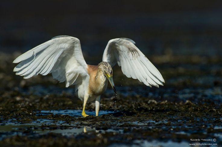 squacco heron - null