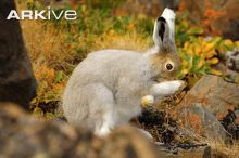 Juvenile arctic hare grooming