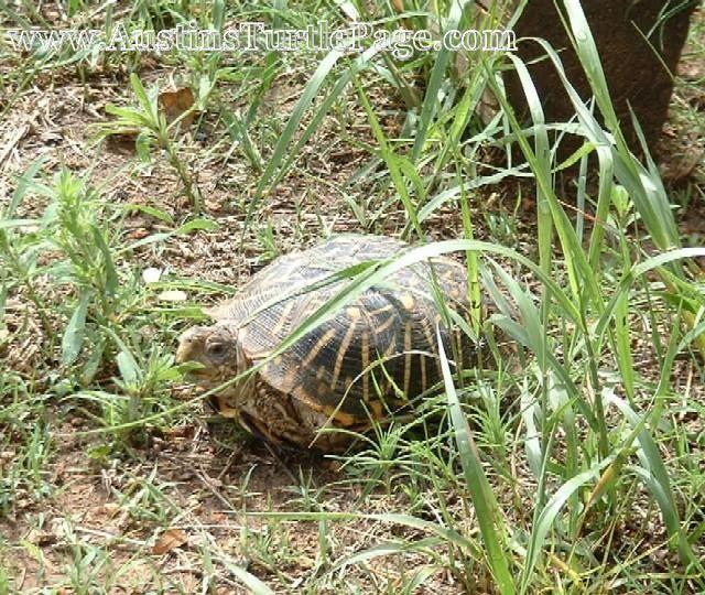 ornate box turtle care animals pinterest turtle care