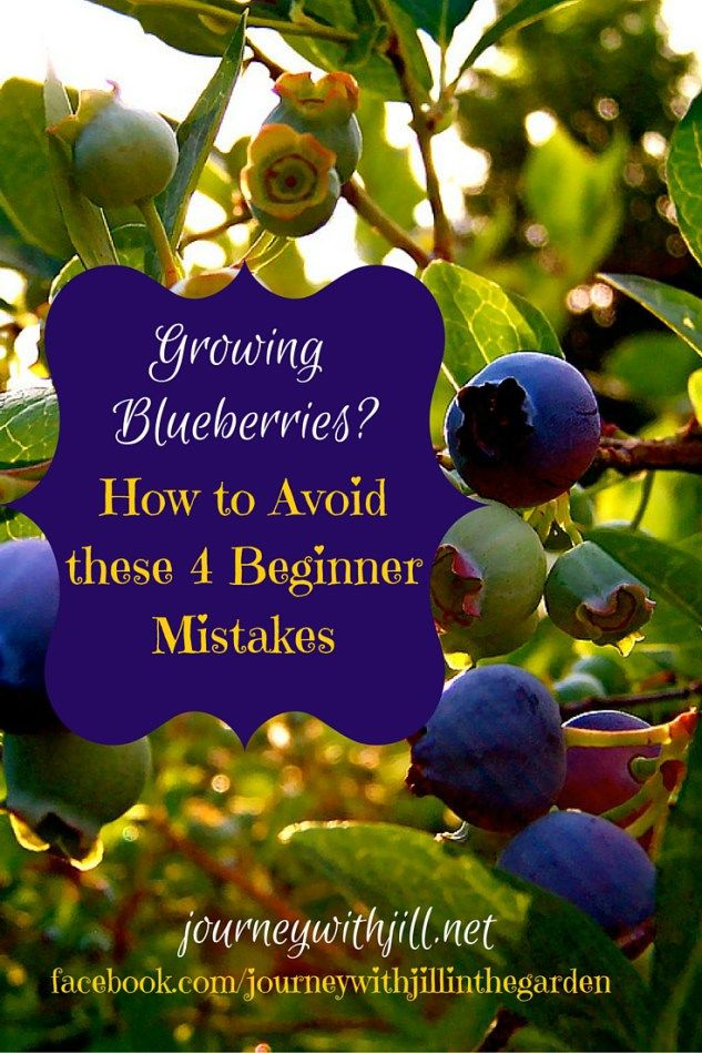 Growing Blueberries? By Avoiding These 4 Common Beginner Mistakes, Youu0027ll  Have Blueberries