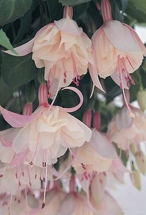 Buy Fuchsia Trailing Happy Wedding Day - Plants - Unwins Seeds