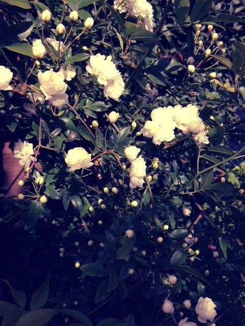 Banksiae lutea.