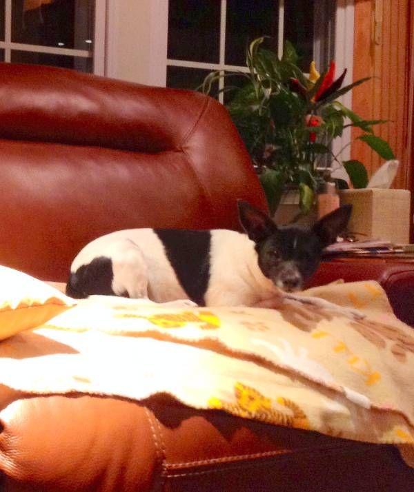 Lost Dog - Rat Terrier in FARMINGDALE, NJ      Pet Name:Rosie (ID# 96070) Gender:Female Breed:Rat Terrier Breed 2:Chihuahua Color:Black Color 2:White Pet Size:Small (10-19lbs) Pet Age:5 Date Lost:06/11/2015 Zip Code:07727 (FARMINGDALE, NJ) See All Lost Dogs In FARMINGDALE, NJ