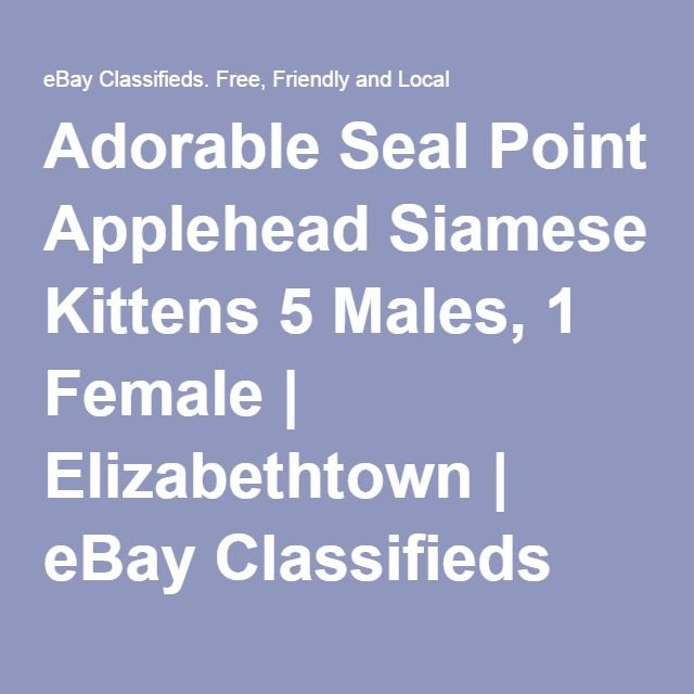 Adorable Seal Point Applehead Siamese Kittens 5 Males, 1 Female | Elizabethtown | eBay Classifieds (Kijiji) | 45319629