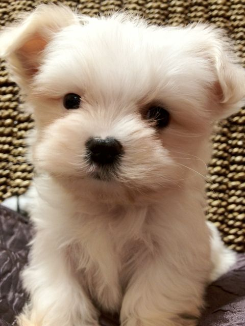 Maltipoo Puppies, #maltipoo #dogs #cute #puppy #puppies  >>>Attention! Click on the picture to promote your blog/site!