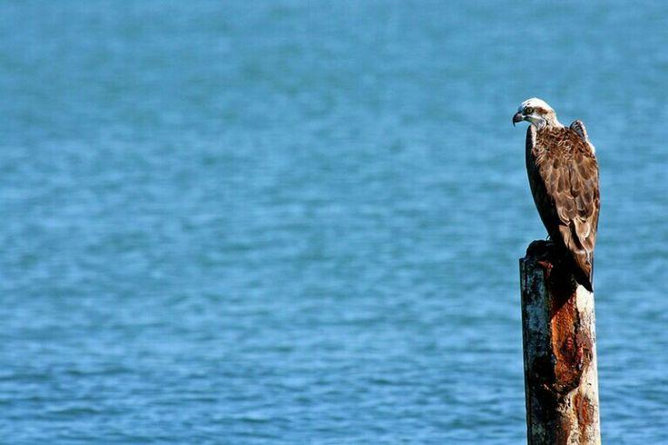Osprey.  Photo by Lee Mason.