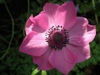 Anemoon (bloem)
