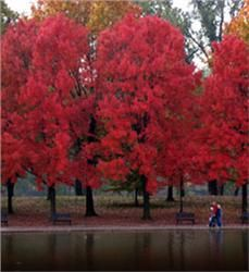 Red Maple •Adds color to your landscape year-round with red stems in winter •Brilliant deep red or yellow fall colors •Fast-growing tree •Deer resistant: seldom severely damaged •Grows 40' to 60' high with 40' spread •Zones 3 to 9