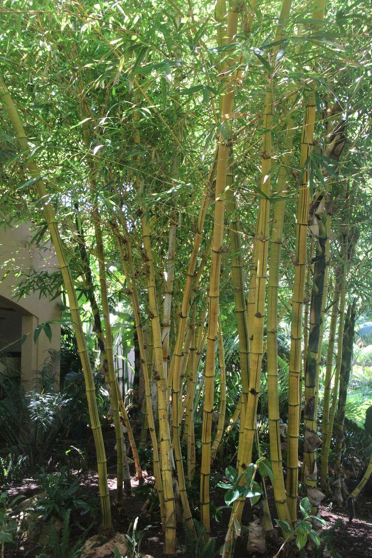 Glamorous bamboo fencing mode miami tropical landscape image ideas - Bambusa Vulgaris Vittata Giant Golden Bamboo