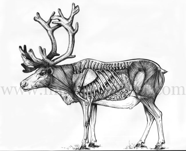 anatomy of a caribou otherwise known as a reindeer  this