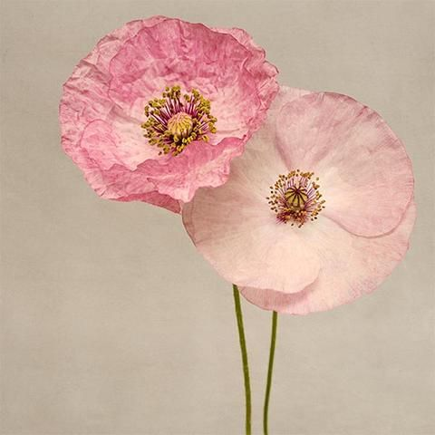 Pink Shirley Poppy Flower Photography Print