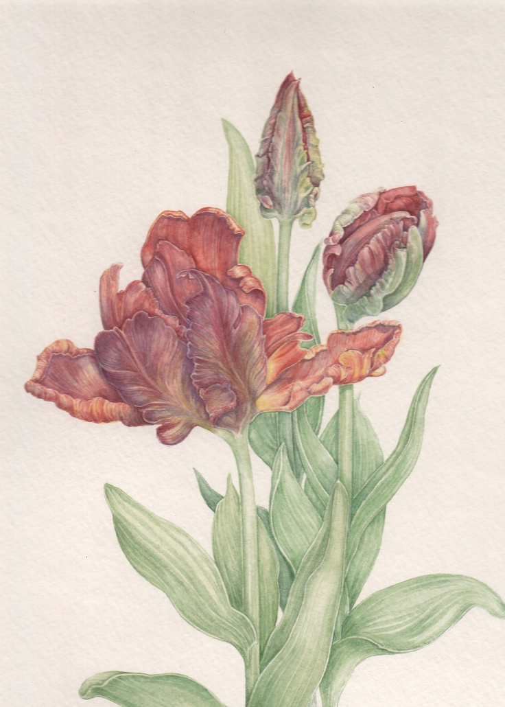 Red parat tulip, watercolor by Mireille Belajonas, 2013