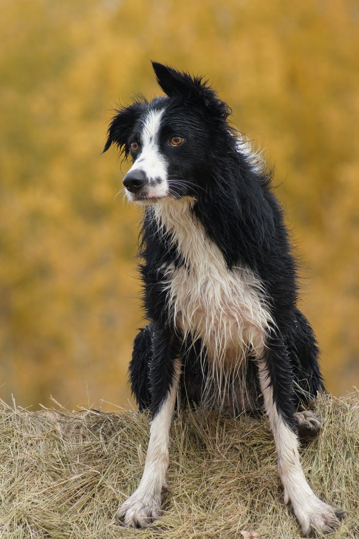 ❤ border collies!