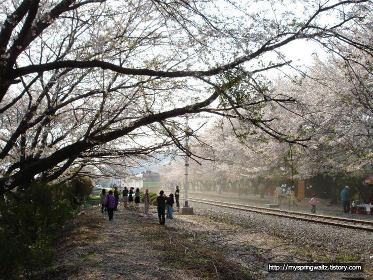 경화역 그 흐드러지게 핀 벚꽃 나무와 흩날리는 벚꽃 아래로 지나가는 수호와 은영 그리고 기차... Gyeonghwa Station, a train station covered with a lot of cherry blossom flowers and falling petals and Sooho and Eunyoung passing under the trees... and the train