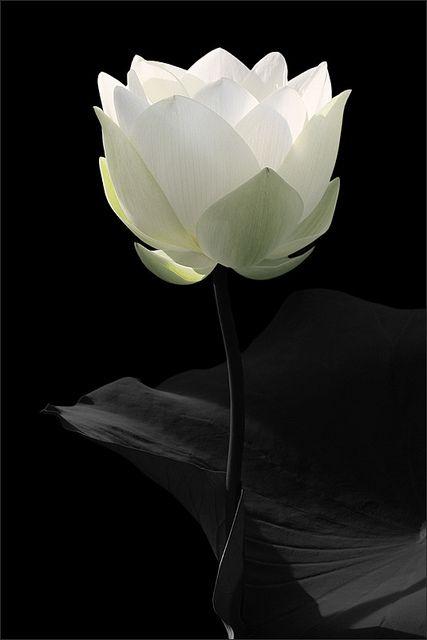 White Lotus Flower - ©Bahman Farzad / lotusflowerimages.com - www.flickr.com/photos/21644167@N04/6208603709/in/photostream