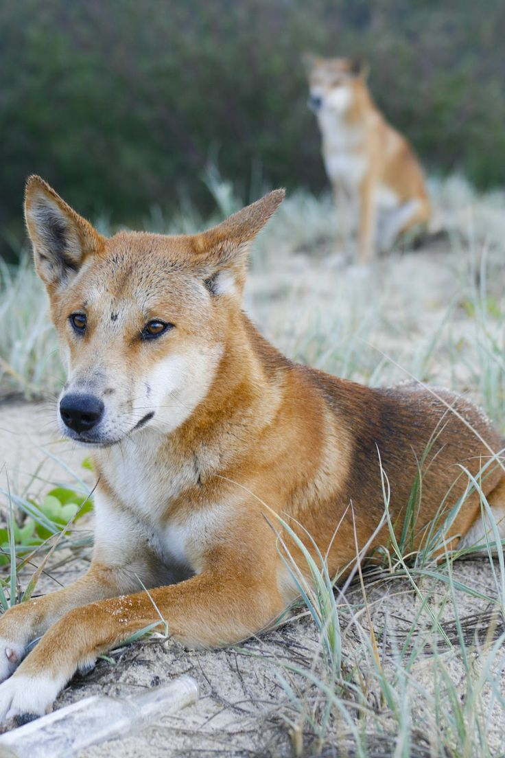 dingo | Life on Fraser Island: Cool Dingo Tour: Fraser Island Day 2 with ...
