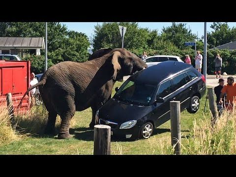 Elephant Attack: Circus Animal Lifts Car Off The Ground - Art'einsky