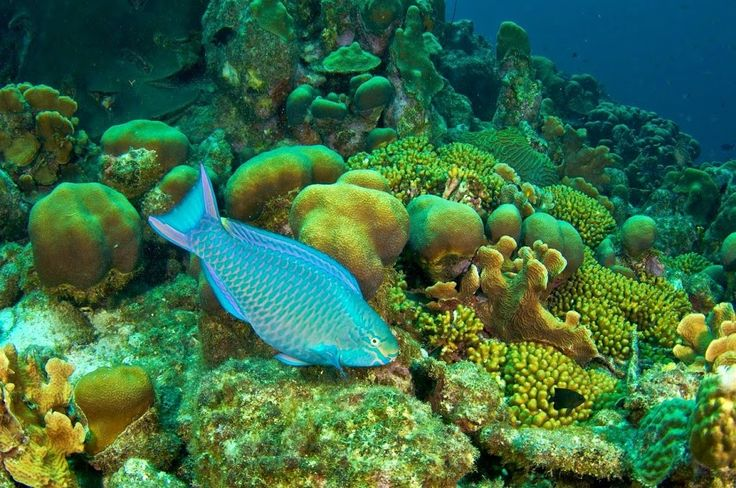 Google+ https://www.virgin.com/unite/leadership-and-advocacy/parrotfish-the-fish-that-can-save-coral-reefs