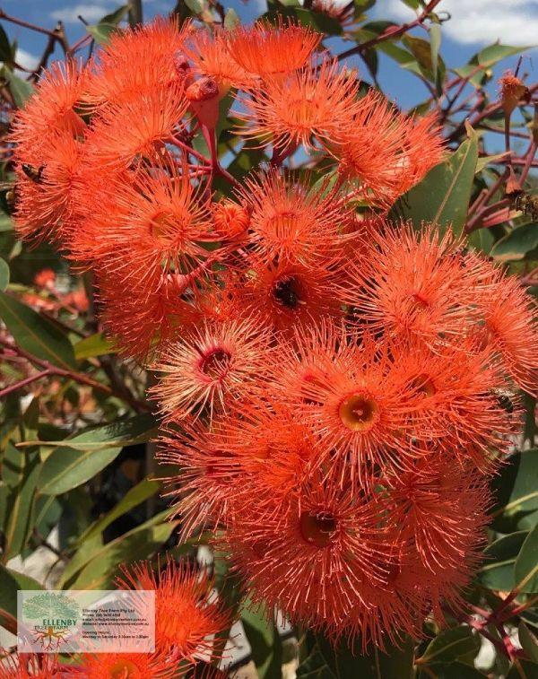 Corymbia ficifolia grafted 'Orange Splendour'