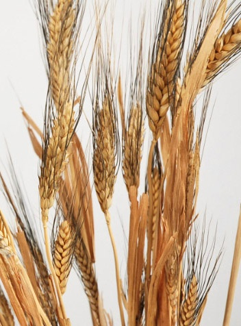 Natural Wheat Stalks Black Beard Wheat    $4.79 bundle/ 10 for $3.99 each