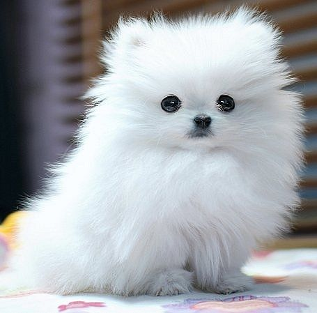 white teacup pomeranian puppy  who could say no to those eyes huh huh thats what i would like to know