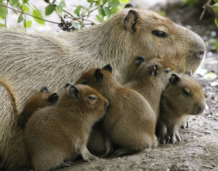 40 Animals and Their Adorable Offspring - Capybaras
