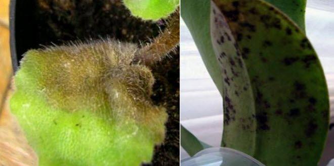 Амазонская лилия (эухарис): как ухаживать правильно http://happymodern.ru/amazonskaya-liliya-eucharis/ Фото 2. Лист, пораженный серой гнилью