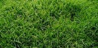 When to Plant Zoysia Sod | eHow